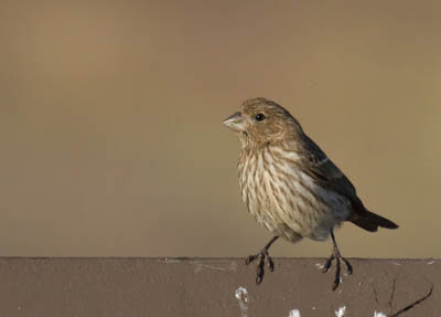 Photo of a female House Finch perched on a bench