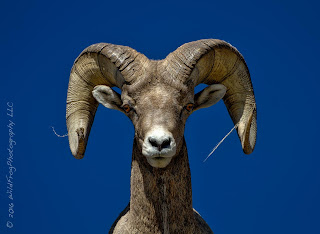 Big horn sheep looking down