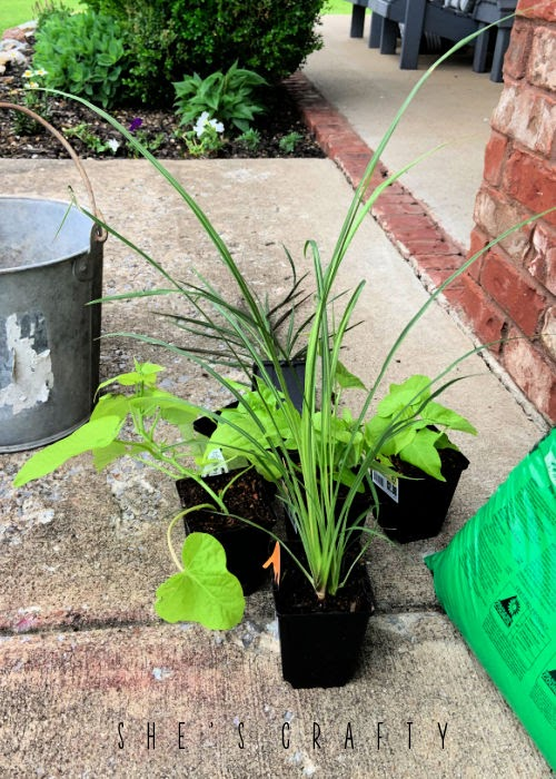 Plants from the hardware store to plant in galvanized buckets.
