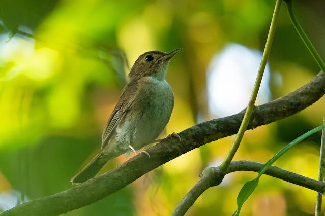 Nicobar Jungle-flycatcher - Image by Yash Kothiala