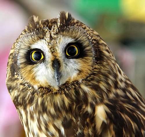 Indian birds - Photo of Short-eared owl - Asio flammeus