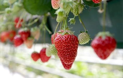 Avec l'arrivée du printemps, l'une des activités favorite des Japonais est l cueillette de fraises !
