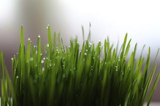 menanam-rumput-gandum-secara-hidroponik.jpg