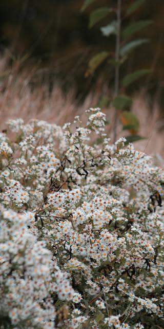 Những đóa hoa cúc họa mi trắng đẹp lung linh