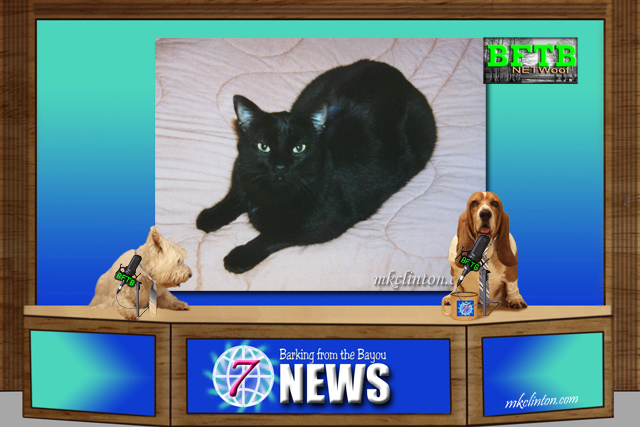 BFTB NETWoof News about rescue cats featuring a black manx