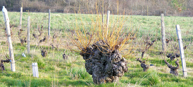 An old willow stump and vineyard.  Indre et Loire, France. Photographed by Susan Walter. Tour the Loire Valley with a classic car and a private guide.