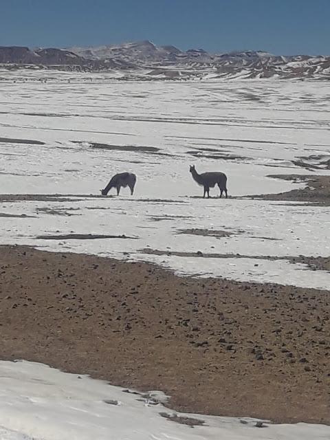 Lamas sind besonders gefährdet bei uns, wenn Schnee fällt