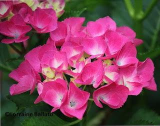Pink hydrangea flower
