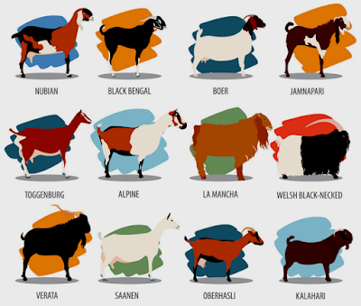 goat breeds, various goat breeds, different types of goat breeds, meat goat breeds, dairy goat breeds, list of goat breeds, goat breeds list, fiber goat breeds, mini goat breeds, best goat breeds, goat breed