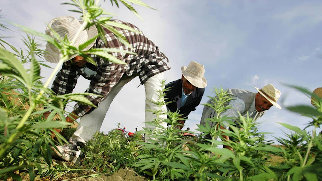 Cannabis prohibition doesn't work anywhere. It's New Zealand's turn to legalise it
