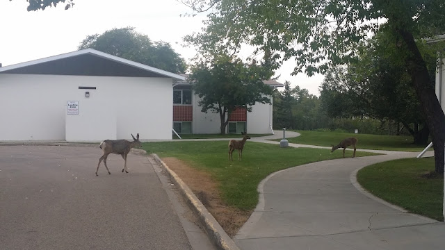 Campus Deer