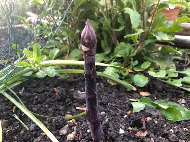 Purple asparagus spear waiting to be cut.