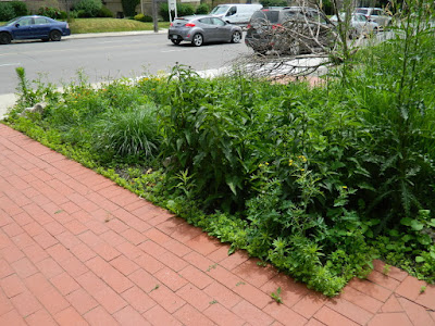 By Paul Jung Gardening Services Inc.--a Toronto Gardening Company, A Toronto Midtown Summer Front Garden Cleanup Before