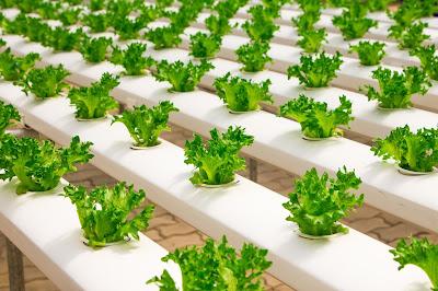 Lettuce in a hydroponic growing method