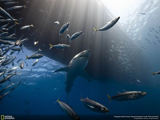 Great White Shark of Guadalupe Island