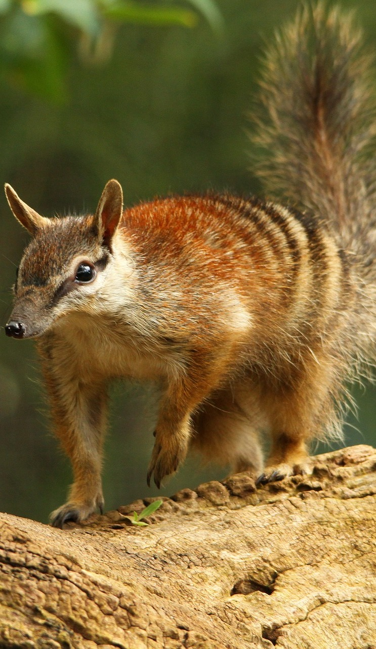 Picture of a numbat.