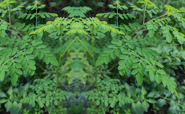 Moringa Seeds | Uses, Benefits, Side Effects And All You