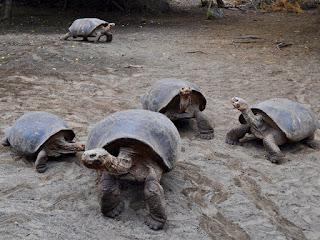 kura-kura-galapagos-aldabra.jpg