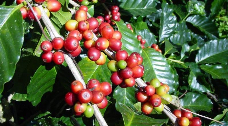 Seluk Beluk, Sejarah dan Penyeberan Biji Kopi Arabika Serta Habitat Tanaman Coffea Arabica