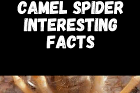 camel spider Interesting facts