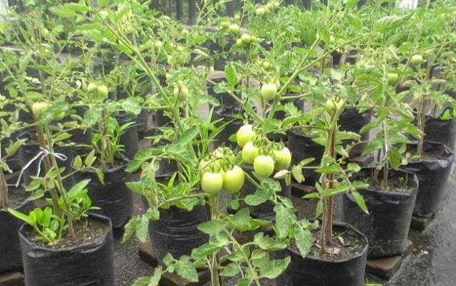 gambar pemeliharaan tomat