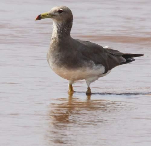 Birds of India - Photo of Sooty gull - Larus hemprichii