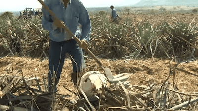 colheita do agave azul