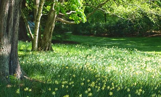 Skovhave med narcisser i Jardin du Luxembourg midt i Paris