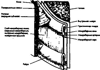 Рис.13. Структура грудной стенки