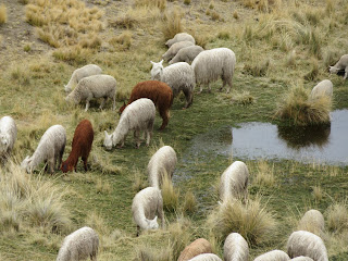 標高3,500~5,000メートルというアンデスの高地に暮らすアルパカ達の画像