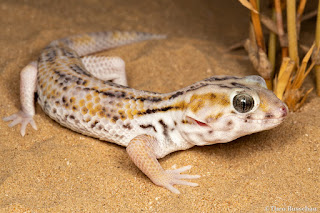 Persian wonder gecko