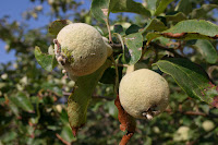 The ugliest fruit in the world - the Quince