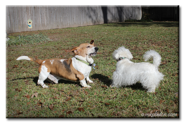 Bentley Basset Hound and Pierre Westie are ready to rumble