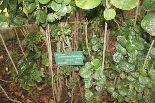 gambar atau foto Tanaman Mangkokan (Polyscias scutellaria)