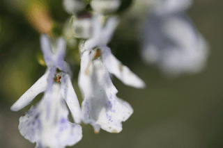 L'orchidée de Peyrepertuse