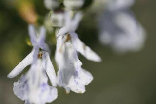 Un fleur d'un amandier