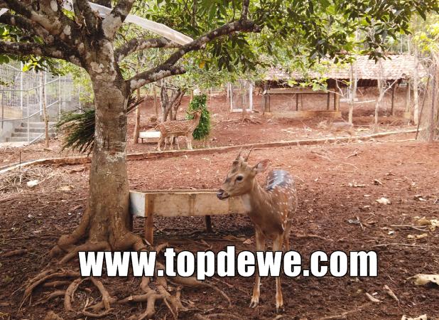 Mini zoo wisata kampung kahuripan cirangkong