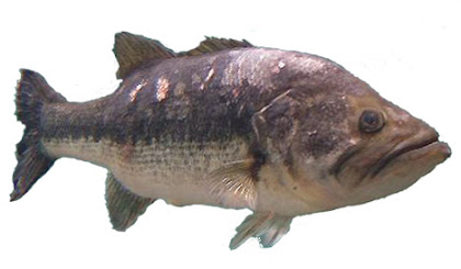 largemouth bass showing clinical signs consistent with mycobacteriosis