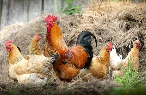 Ciri-ciri hewan ayam