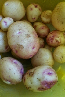 A Bowl of Potatoes ready to be washed and cooked