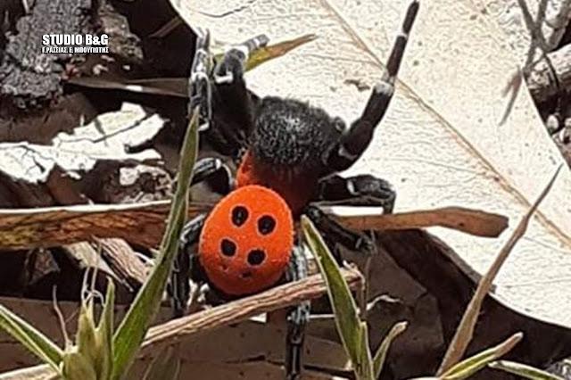 Αράχνη πασχαλίτσα: Σπάνιο είδος αράχνης εντοπίσθηκε στην παραλία Καραθώνας στο Ναύπλιο