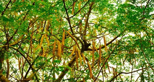 exista un copac cu mii de virtutii pentru sanatate