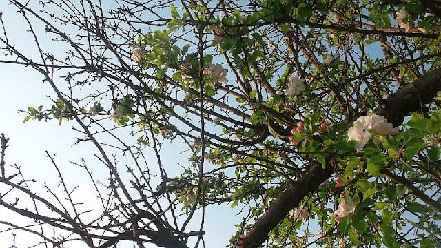 Apfelbäume blühen