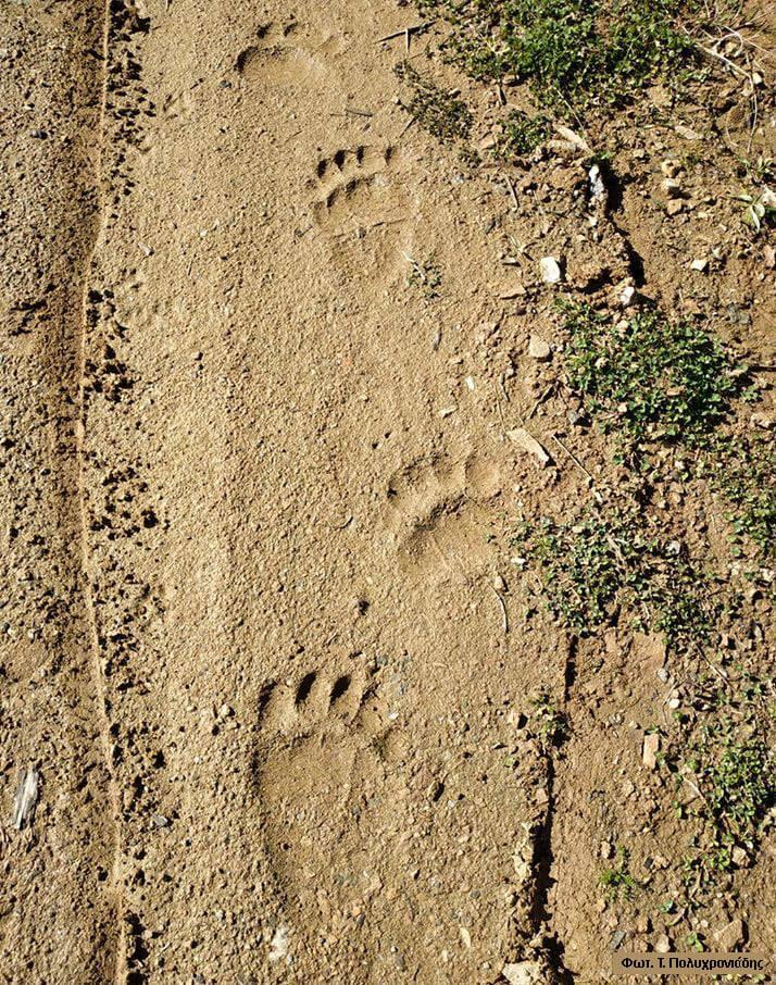 Αίσθηση για την εμφάνιση αρκούσας στο Παγγαίο