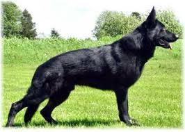 Solid Black Colored German Shepherds Fun Animals Wiki Videos