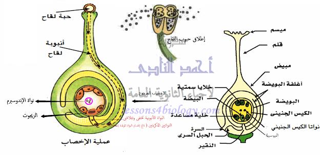 الإخصاب المزدوج - الإندماج الثلاثى ( لتكوين غذاء الجنين وإدخاره )