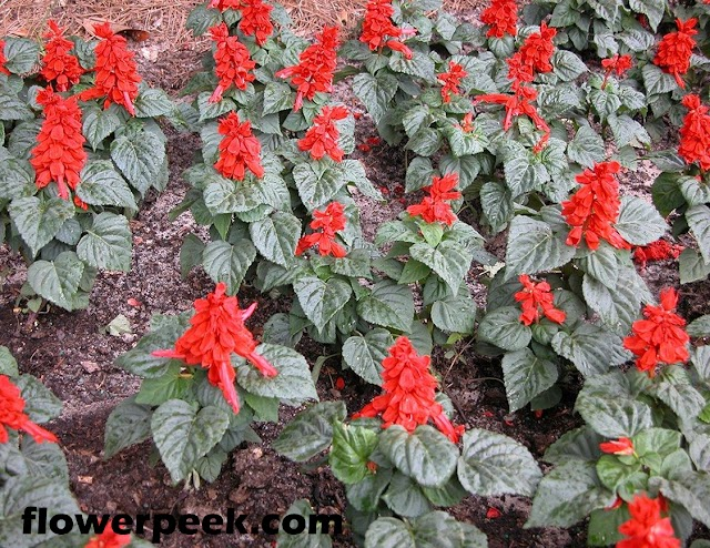 How to grow scarlet sage plants in garden