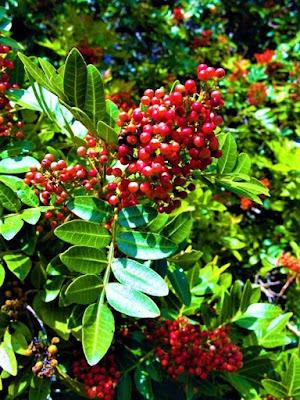 Aroeira Pimenteira (Schinus terebinthifolia)