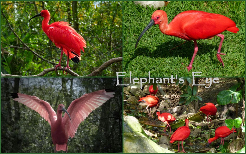 Scarlet ibis (USA, Venezuela to Brazil)