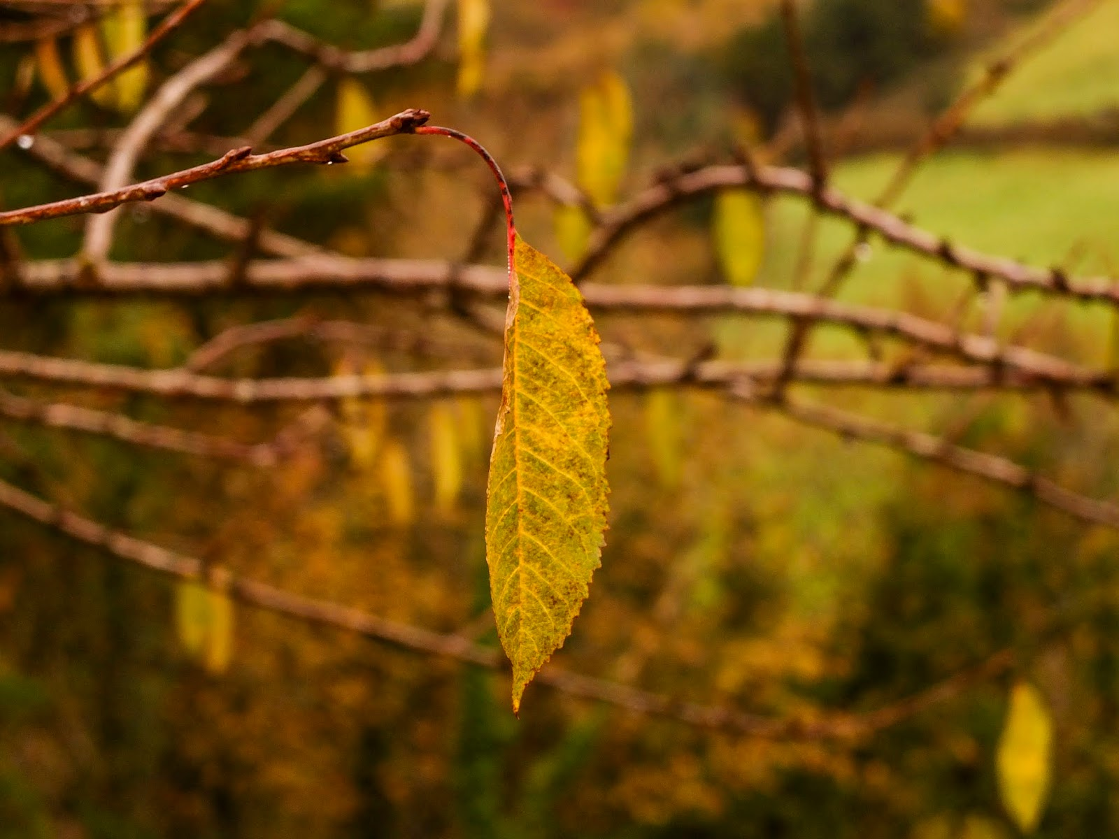 A yellowed cherry tree leaf hanging off a tree.